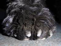 1. Portuguese Water Dog's large round flat foot