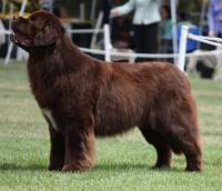 Newfoundland (Brown)