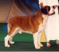 Saint Bernard Short Haired
