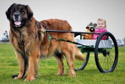Leonberger Carting