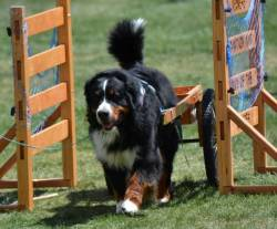 Advanced Carting with Bernese Mountain Dog