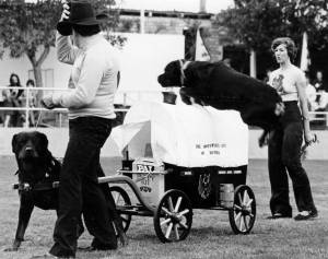 Rottweiler Leaping over dog-cart
