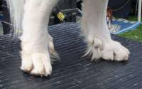 Double Dewclaws on Hind Legs