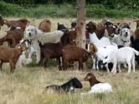 Pyreneans with goats