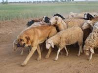 Spanish Mastiff leading Sheep