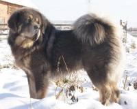 Tibetan Mastiff (Slate and Tan)
