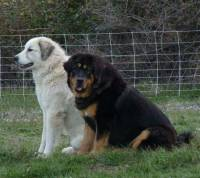 Pyrenean Mountain Dog and Tibetan Mastiff