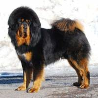 Tibetan Mastiff Black and Tan