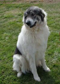 Pyrenean Mountain Dog with Badger Markings