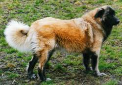 Estrela Mountain Dog (Long)