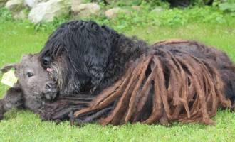 Bergamasco with calf