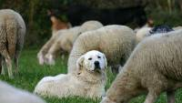 Maremma with sheep