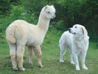 Maremma with an alpaca