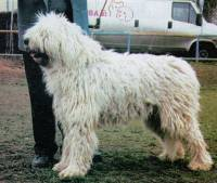 Young Komondor