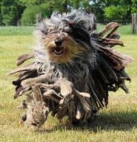 Bergamasco Shepherd Dog