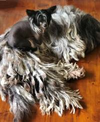 Bermasco and Chinese Crested Dog