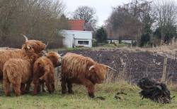 Bergamasco with cattle