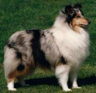Collie (Rough) Blue Merle