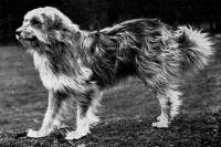 Bearded Collie c 1905