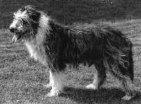 Early Smithfield Collie
