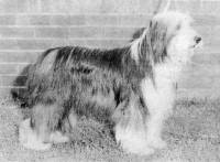 Bearded Collie c 1977
