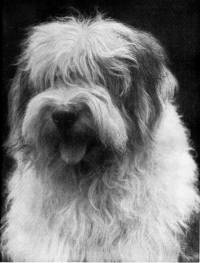 Old English Sheepdog c 1920