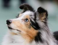 Sheltie Blue Merle