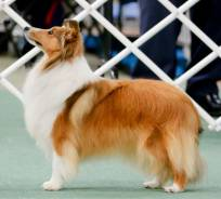 Sheltie (Sable)
