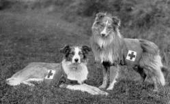 Collie type 'Ambulance Dogs' 1905