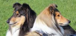 Collies Tri and Sable