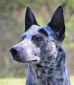 Stumpy Tail Cattle Dog