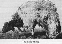 Cape Sheep - note the tail
