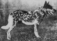 Australian Cattle Dog (1908)