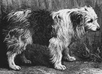 Bob tail Sheepdog c 1878