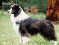 Border Collie (Blue & White)