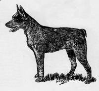 Australian Stumpy Tail Cattle Dog c 1936