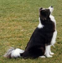 Border Collie (Black & White)