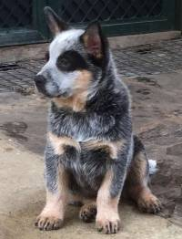 Cattle Dog pup by 3 months