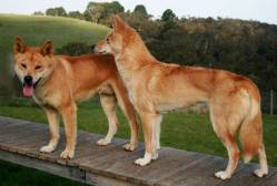 Australian Dingos Male and Female