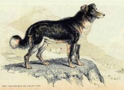 Shepherds or Sheepdog 1840