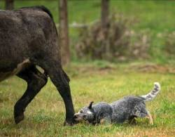 Australian Cattle Dog Heeling