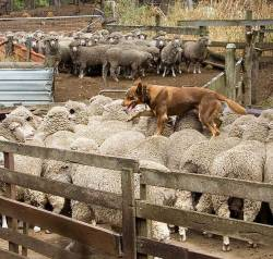 Kelpie working sheep