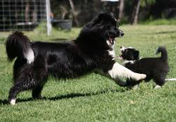 Border Collie mother and pup
